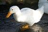 White_duck_1rszd